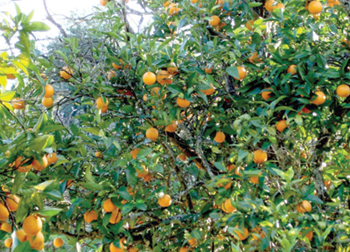 Veja 10 rvores frut feras para plantar 28