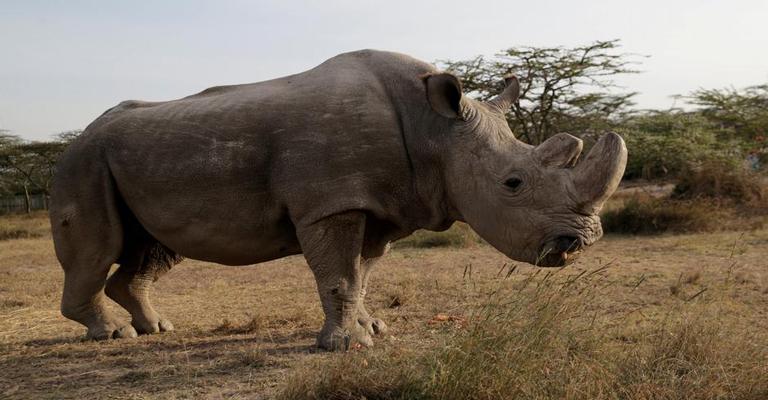 Laboratório tenta ressuscitar rinoceronte extinto