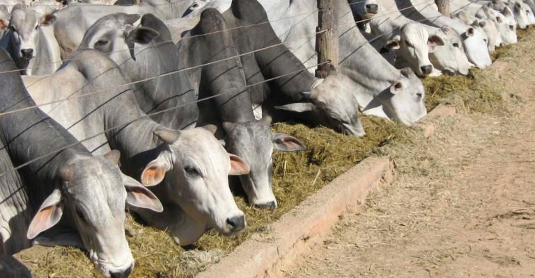 Cresce abate de bovinos, suínos e frangos, diz IBGE