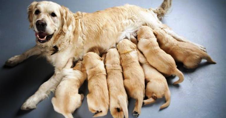 Cadelas gestantes precisam de alimentação especial