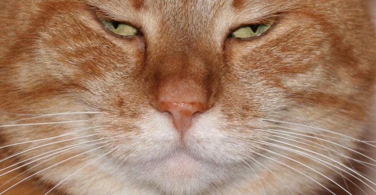 Obesidade pode complicar a saúde do seu gato