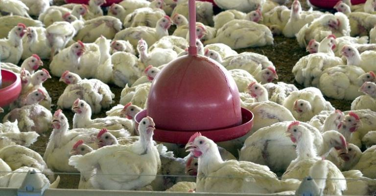 1º semestre tem queda nas exportações de frango e suíno