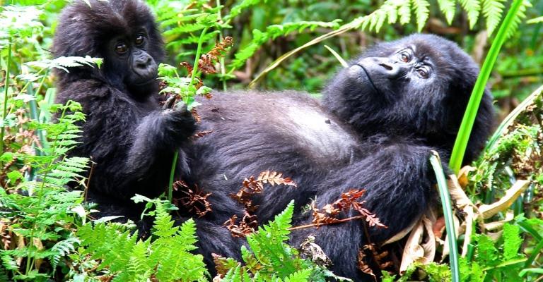 Exposição retrata o cotidiano dos últimos gorilas do mundo