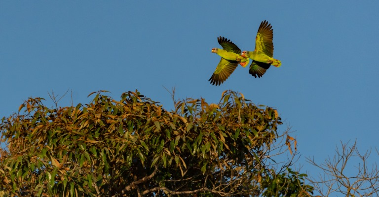 Cresce a população de papagaio-de-cara-roxa no país