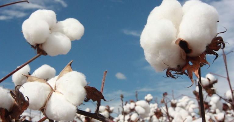 Minas terá crescimento de 52,2% na safra do algodão
