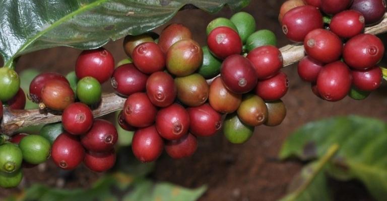 Safra de café terá redução de 17,4% em 2019