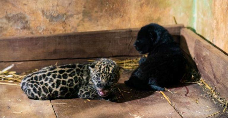 Dois filhotes de onça-pintada nascem na reserva de Itaipu, no Paraná