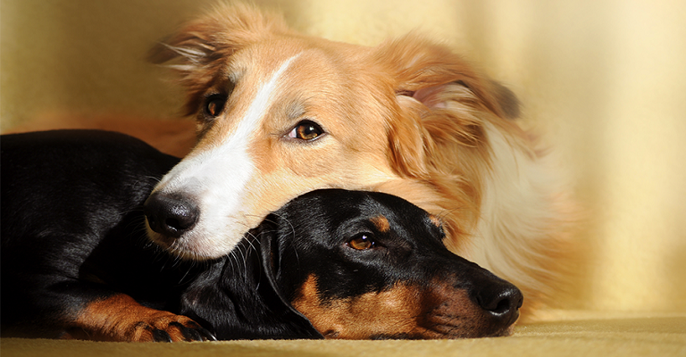 Pets: Você sabia que seu cãozinho pode doar sangue?