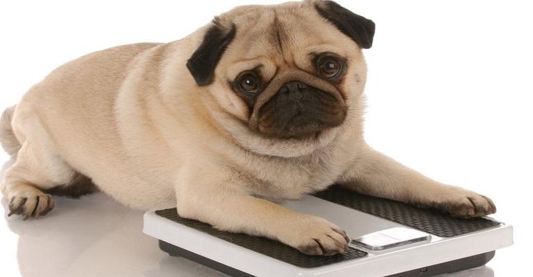 """""""Cães obesos vivem menos"""""""