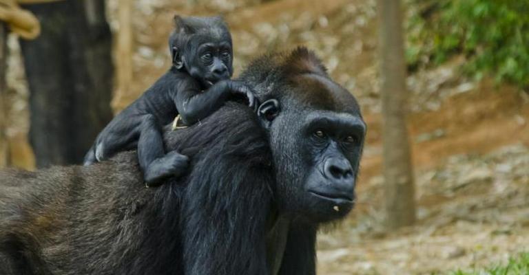 Zoológico de BH abre votação para nome de gorila