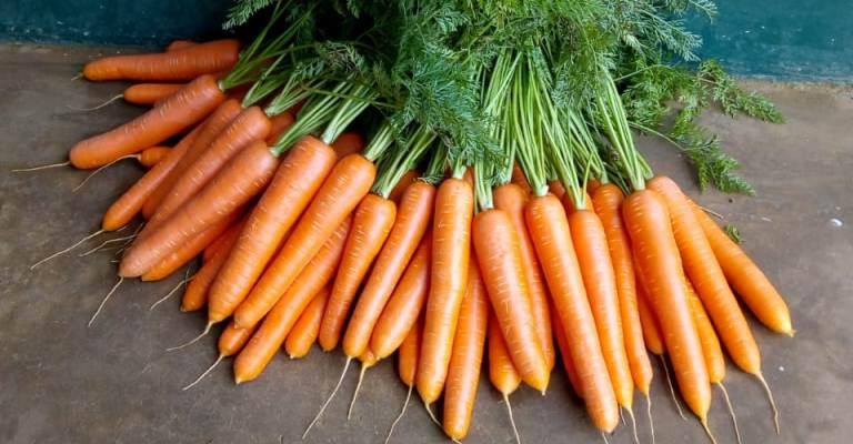 Embrapa cria cenoura que dispensa agrotóxico