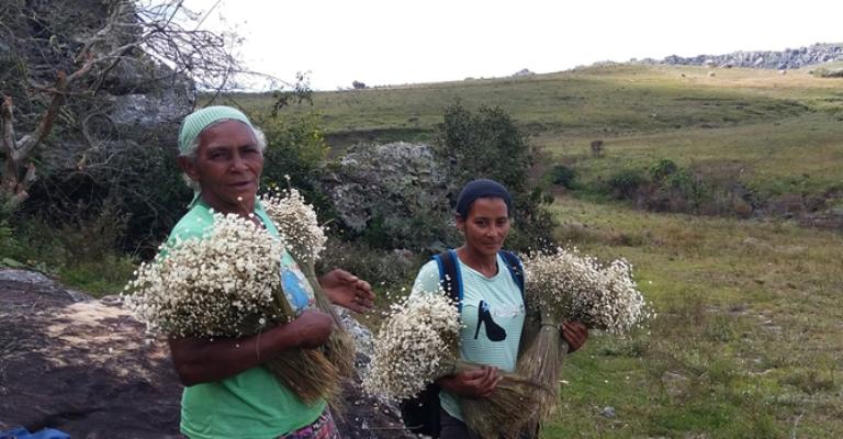 Coleta de sempre-vivas vira patrimônio agrícola mundial