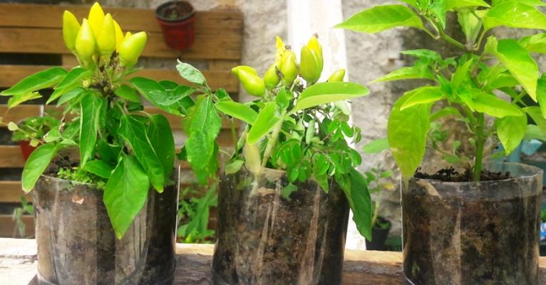 Hortas domésticas são alternativa para alimentação nutritiva e diversificada