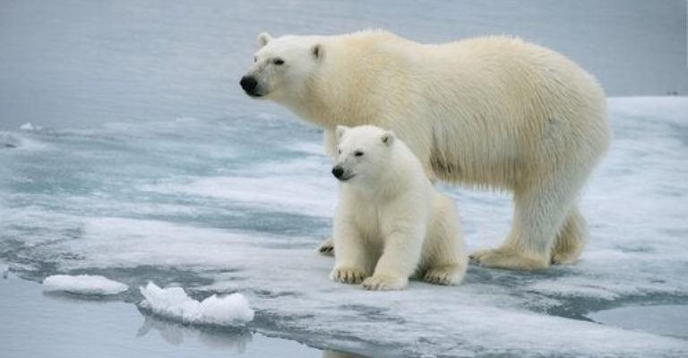 Urso-polar pode ser extinto até 2100, diz estudo