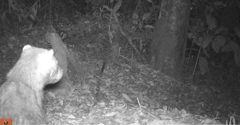 Espécie ameaçada de extinção, cachorro-vinagre é visto em reserva de Goiás